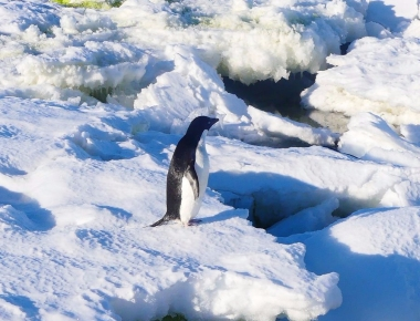 Penguin in the Antarctic